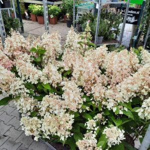 Hydrangea Pinkywinky 3-4 maanden volop bloemen,