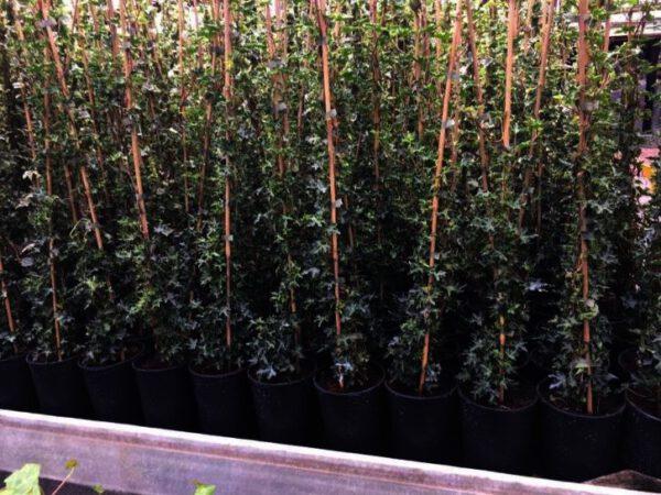 Hedera helix Plattensee, is een van de allermooiste en platste Hedera voor strakke hagen