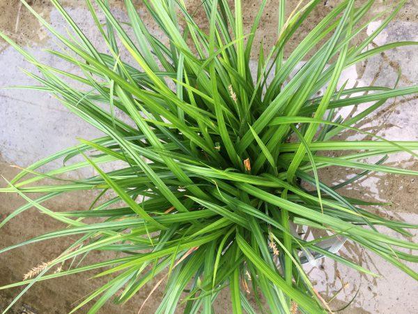 Carex irish Green, veel uitlopers per pot, top kwaliteit voor bodemprijzen