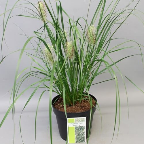 Pennisetum Hameln , populair Siergras