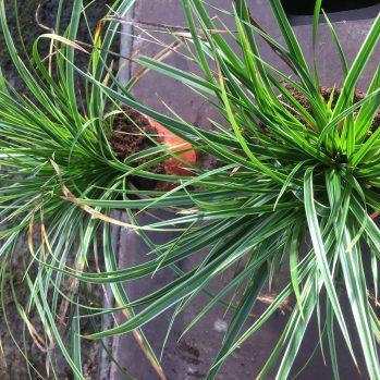 Carex morrowii in 13 cm pot ,volle polletjes en scherp geprijsd