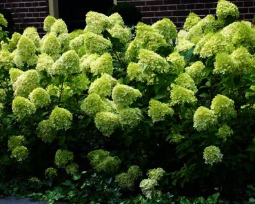 hydrangea paniculata 39 39 limelight 39 39 schapenkop buxuskoning. Black Bedroom Furniture Sets. Home Design Ideas