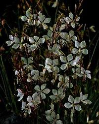 Gaura lindheimeri 'Whirling Butterflies', Is een prachtige kaarsachtige bloem met een zeerlange bloeitijd