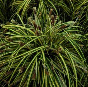 Carex morrowii ''Goldband'' is een blikvanger in u tuin,zet hem ik groepen,geeft rust in u tuin.