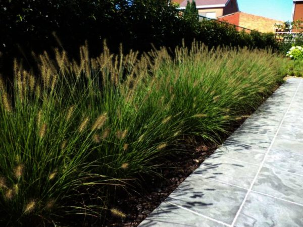 Pennisetum Hameln , een van de populairste grassoorten