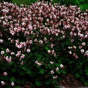 Geranium Biokovo is een mooie rijkbloeiende geranium die zorgt voor blije borders