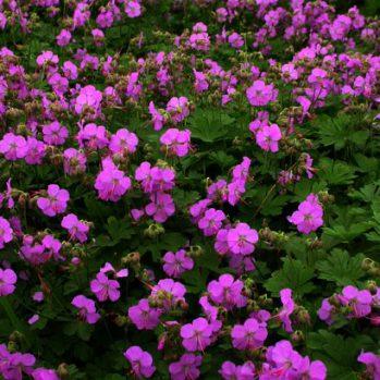 Geranium Cambridge geeft een overvloed aan roze bloemetjes van mei tot aug