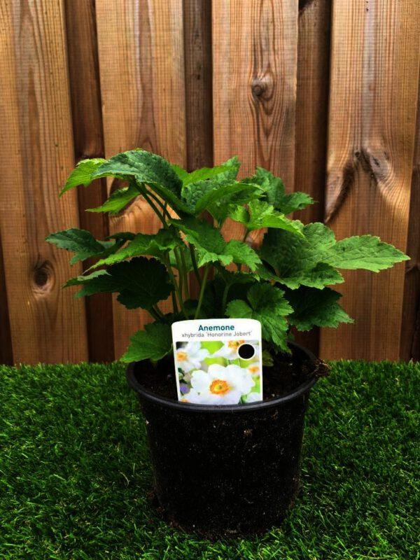 Anemone in 17 cm pot in mei genomen