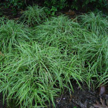 Carex Silver Sceptre is een groenblijvend siergras