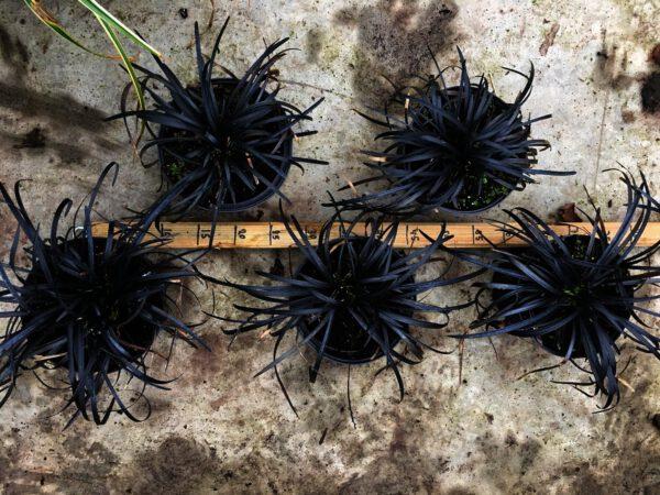 Niger is een populaire grassoort,en enigste zwart gras soort.