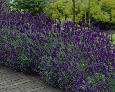 "Lavandula angustifolia ""Hidcote"" is de aller populairste Lavendel soort,meest verkocht"