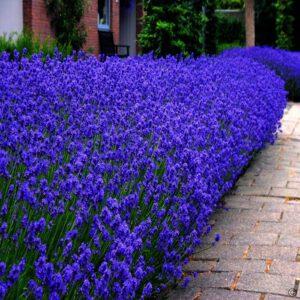"""Lavendel angustifolia """"Dwarf Bleu""""is een mooi blauwpaars compacte lavendel,lijkt kwa kleur veel op Munstead."""