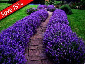 """Lavandula angustifolia """"Munstead"""" is de allersterkste Lavendel soort"""