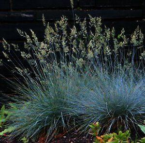 Festuca glauca 'Elijah Blue' is een van de populairste grassoorten, in de aanbieding bij de hederakoning