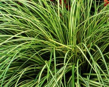 Carex oshimensis 'Evergold' is een opvallende verschijning in u tuin. ook mooi in groepen.