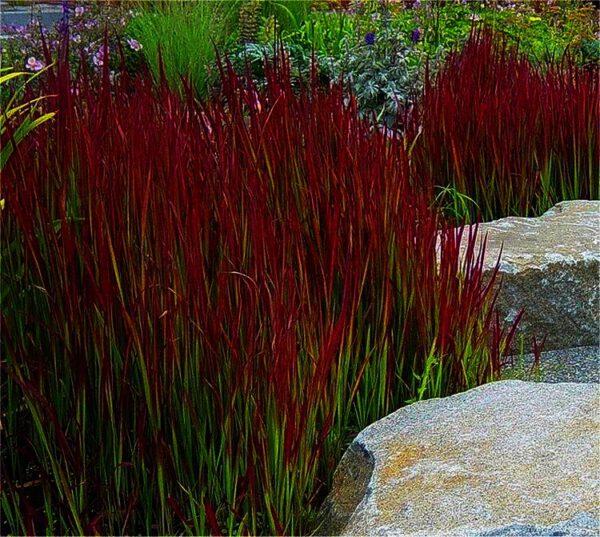 Imparata cylindrica ''Red Baron'' maakt mooie combinaties met andere grassen oa zwart gras