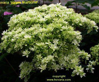 Hydrangea arborescens Hovaria 'Hayes Starburst' - dubbelbloemige Annabelle
