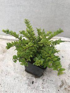 """Lonicera nitida """"Maigrun'' de Lada onder de Buxusvervangers, groeit snel en 3-4x snoei is jaarlijks nodig"""