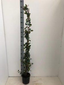 TRACHELOPSPERMUM JASMINOINOIDES 3 Liter pot 150-175cm