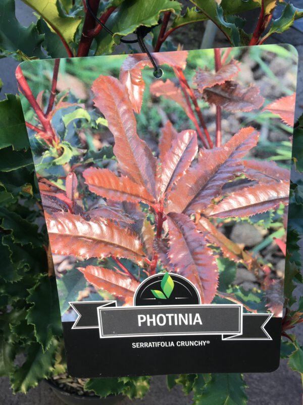 Photinia Crunchy, een nieuwe groenblijvende glansmispel