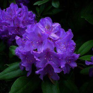 Rhododendron catawbiense 'Grandiflorum´