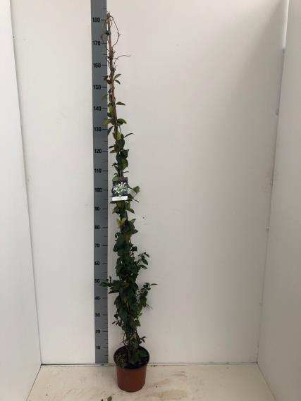 TRACHELOPSPERMUM JASMINOINOIDES 2 Liter pot 125-150 cm