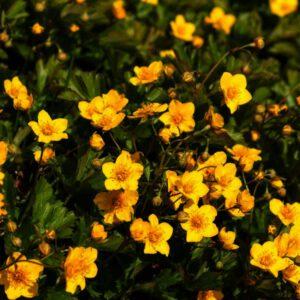 Waldsteinia ternata of Goudaardbei is een sterk zodenvormende vaste plant
