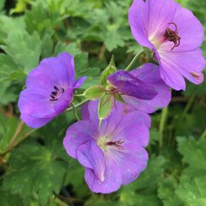 Geranium Rozanne, zeer lange bloeitijd, juni-okt