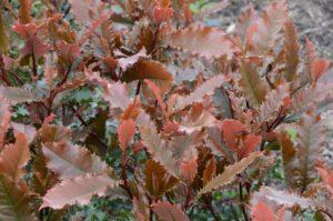 Photinia Crunchy een nieuwe soort bruine Glansmispel