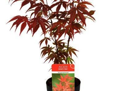 Acer-palm.-Atropurpureum-japanse esdoorn