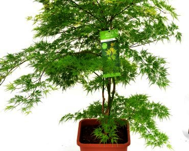 Acer palmatum 'Emerald Lace' -japanse esdoorn