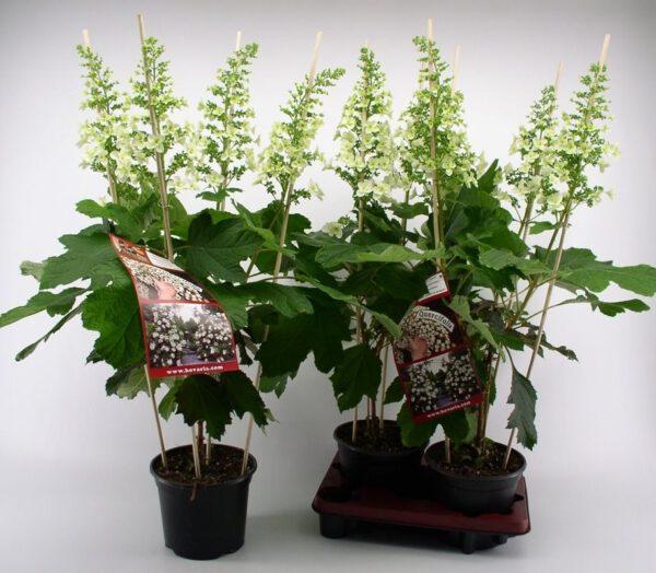 Eikenblad hortensia van Hovaria verkrijgbaar bij kwekerij Buxuskoning
