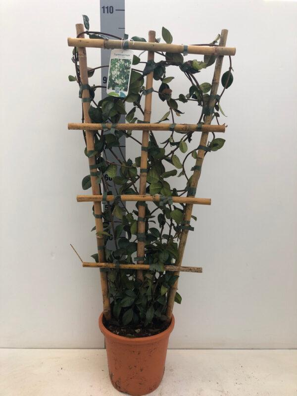 TRACHELOPS JASMINOI FRAME C5 pot/80X40