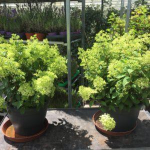 Hydrangea paniculata Bobo XXXL