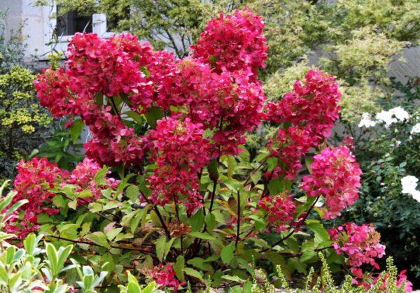 Wims red is een sterke groeier met een verkleurende donkerrode pluim