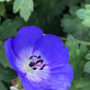 Geranium Rozanne geeft helderblauwe bloemen van mei tot oktober