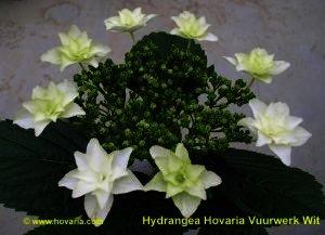 Hydrangea Hovaria ''Fireworks White'' - wit vuurwrk