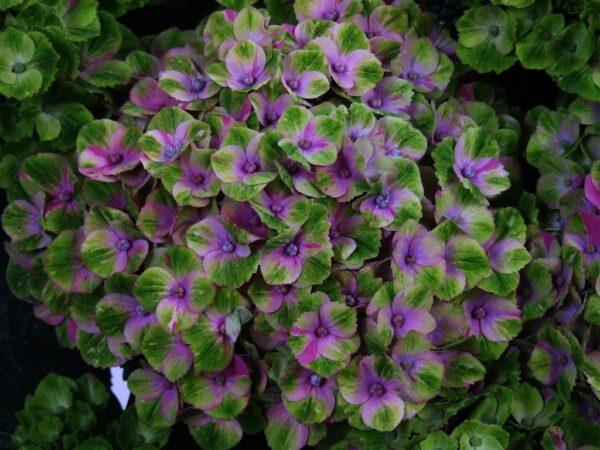 Hydrangea Magical AmethystBL (BL) (2)