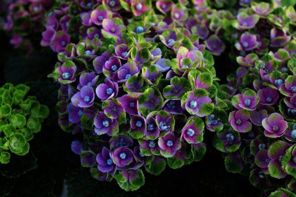 Hydrangea Magical AmethystBL (BL)
