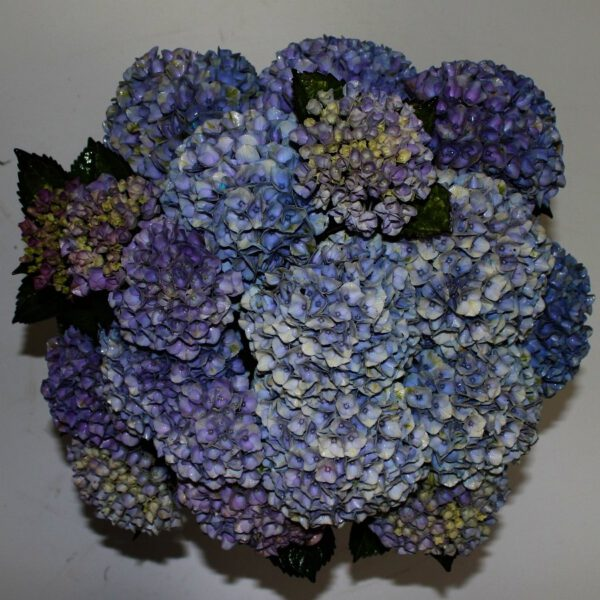 Hydrangea Magical Revolution Blauw C5