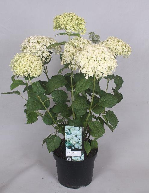 Hydrangea arborescens Annabelle, mooi te combineren met andere tuinplanten