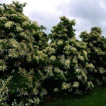 Hydrangea petiolaris deze klimplant kan men ook gewoon in de tuin zetten, of als bodembedekker gebruiken.