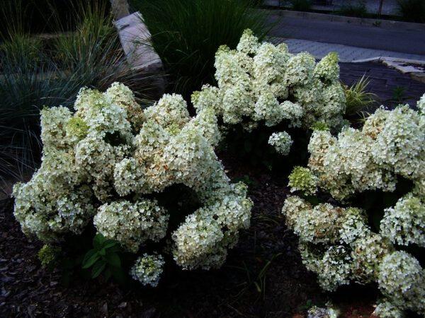 TIP: Bobo heeft de grootste bloemplant verhouding, 70 cm hoog met zeer veel pluimen van 25-30 cm. Behoort in elke tuin.