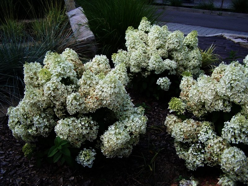 hydrangea paniculata bobo dwerg schapenkop buxuskoning. Black Bedroom Furniture Sets. Home Design Ideas