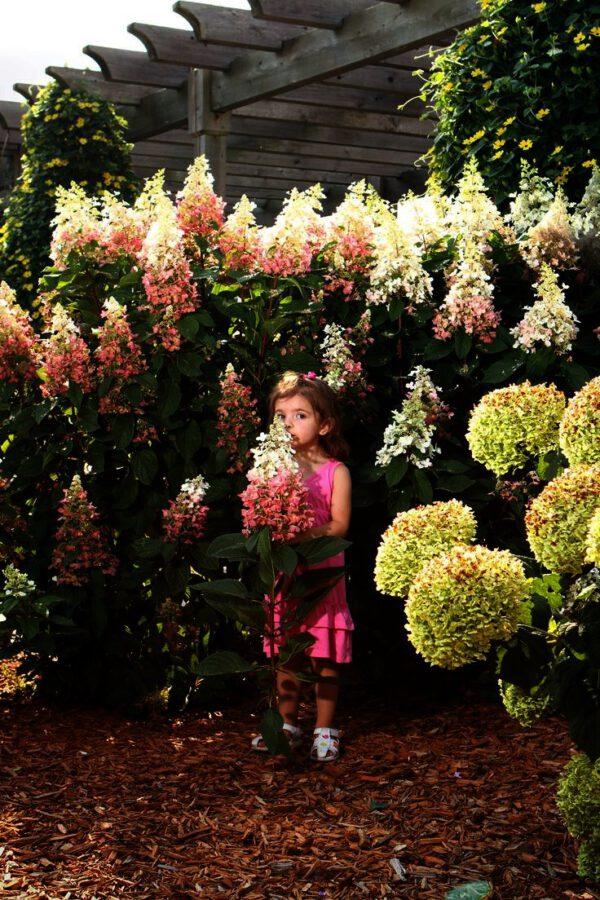 Hydrangea Pinkywinky geeft elk jaar weer veel grote pluimen, tenminste als u kort snoeit