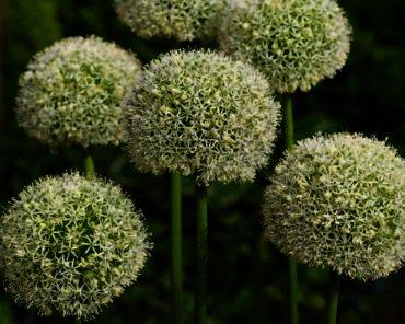 Allium White Giant Is de grootste witte sierui