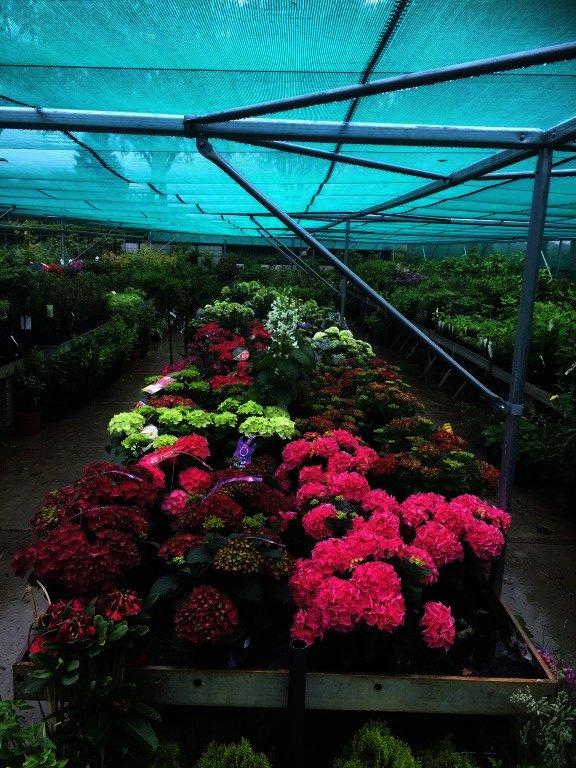 Hydrangea Magical in 10 kleuren verkrijgbaar