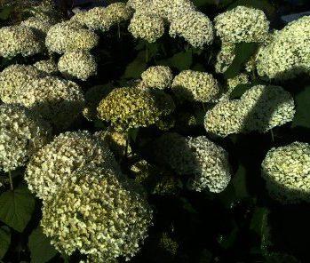 Hortensia arborescens Annabelle iS een van de populairste hortensia van de laatste 30 jaar