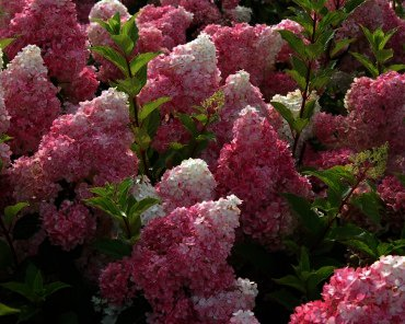 "Hydrangea paniculata ""Vanille-fraisse"" - pluimhortensia Geeft volle gekleurde pluimen"