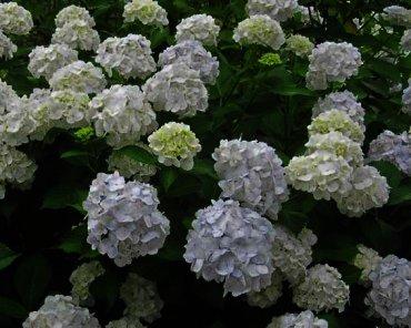 Hydrangea macrophylla 'Madame Emile Mouillère' Is een van de witst blijvende hortensia van dit moment